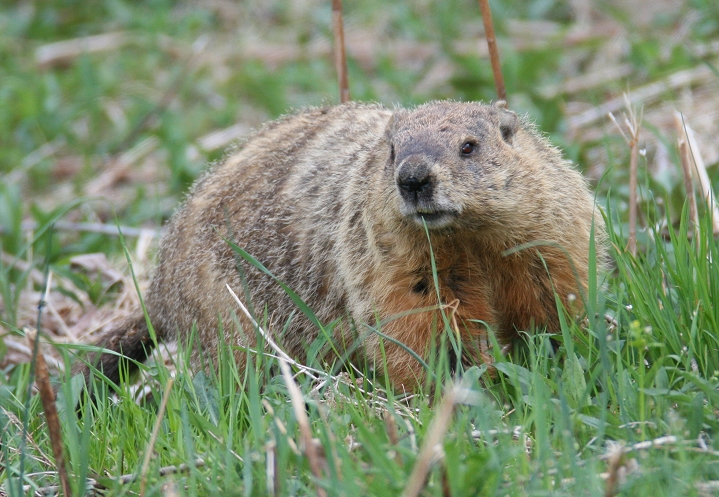 Can a woodchuck really chuck wood