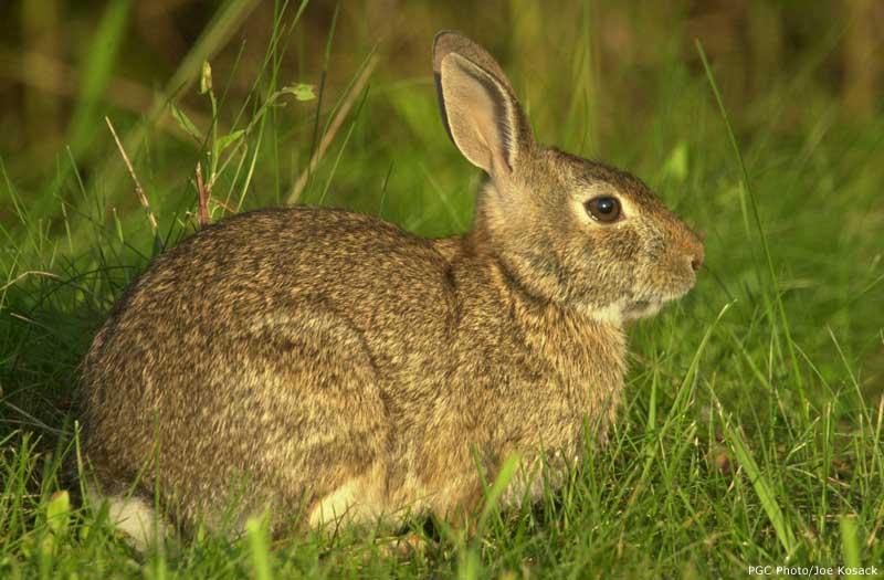Cottontail rabbit habitat - photo#15